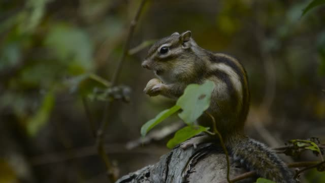 siberian chipmunk eats nut, hokkaido - chipmunk stock videos & royalty-free footage