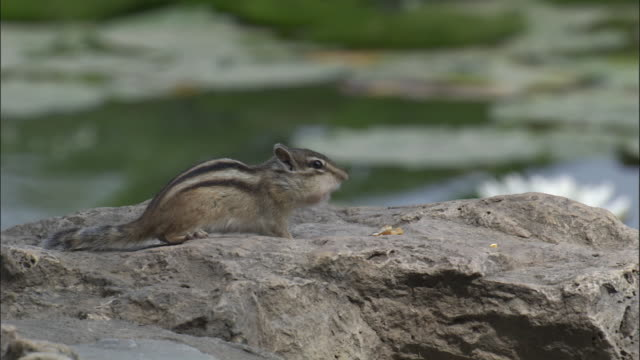 siberian chipmunk eats seeds from rock at edge of lake, beijing - tamia striato video stock e b–roll