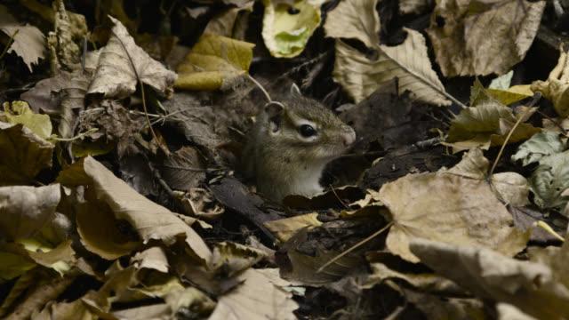 stockvideo's en b-roll-footage met siberian chipmunk emerges from burrow, hokkaido, japan. - dierenhol