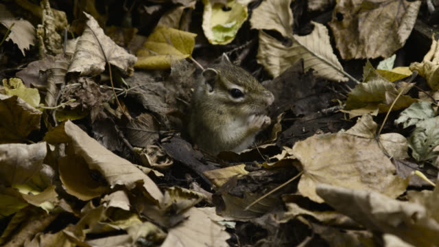 siberian chipmunk emerges from burrow, hokkaido, japan. - streifenhörnchen stock-videos und b-roll-filmmaterial