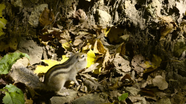 siberian chipmunk enters burrow, hokkaido, japan. - streifenhörnchen stock-videos und b-roll-filmmaterial