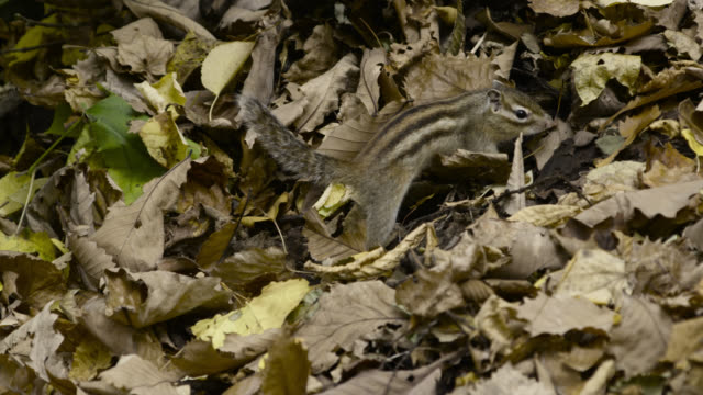 siberian chipmunk forages amongst dead leaves, hokkaido, japan. - streifenhörnchen stock-videos und b-roll-filmmaterial