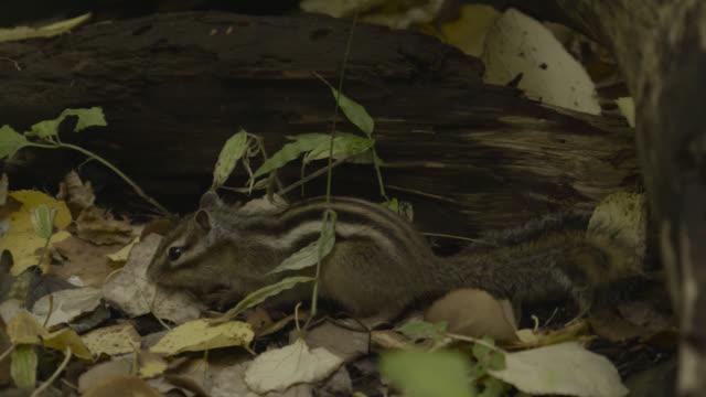 Siberian chipmunk forages for acorns, Japan.