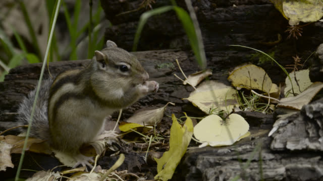 siberian chipmunk forages for nuts, hokkaido, japan. - streifenhörnchen stock-videos und b-roll-filmmaterial