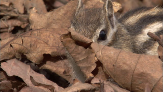 siberian chipmunk forages in leaf litter, russia - streifenhörnchen stock-videos und b-roll-filmmaterial