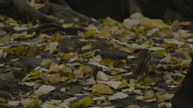 siberian chipmunk foraging amongst leaves, hokkaido - streifenhörnchen stock-videos und b-roll-filmmaterial