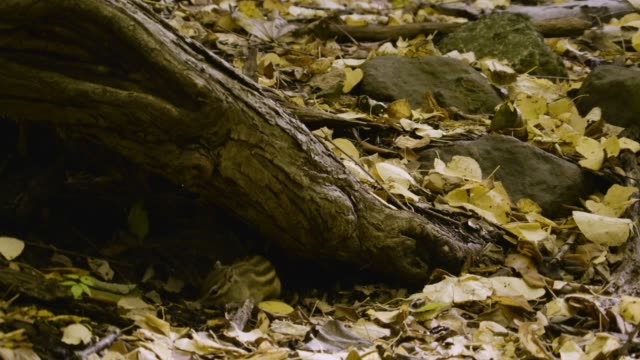 siberian chipmunk foraging amongst leaves, hokkaido - chipmunk stock videos & royalty-free footage