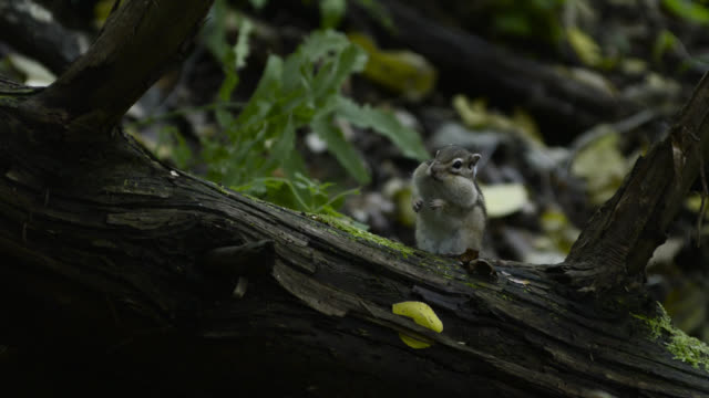 siberian chipmunk gathers acorns, hokkaido, japan. - streifenhörnchen stock-videos und b-roll-filmmaterial