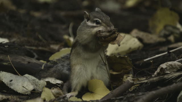 siberian chipmunk gathers leaves, hokkaido, japan. - streifenhörnchen stock-videos und b-roll-filmmaterial