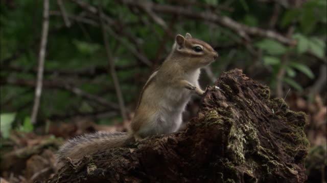 siberian chipmunk in forest, russia - シマリス点の映像素材/bロール