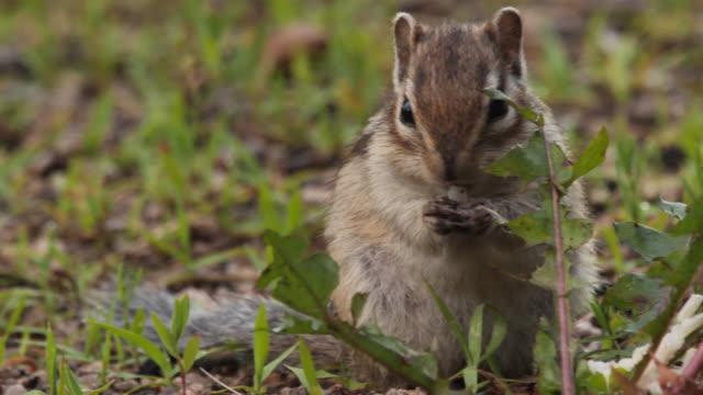 シベリアのシマリス(ユータミアス・シビリカス) - ヒンガン自然保護区、ロシア - シマリス点の映像素材/bロール