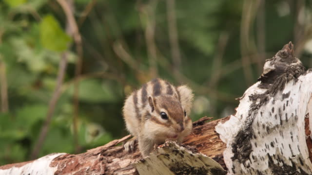 siberian chipmunk (eutamias sibiricus) - khingan nature reserve, russia - chipmunk stock videos & royalty-free footage