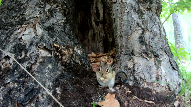 siberian chipmunk (eutamias sibiricus) - khingan nature reserve, russia - chipmunk stock videos & royalty-free footage