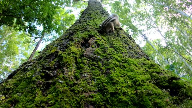 siberian chipmunk (eutamias sibiricus) - khingan nature reserve, russland - höhle stock-videos und b-roll-filmmaterial