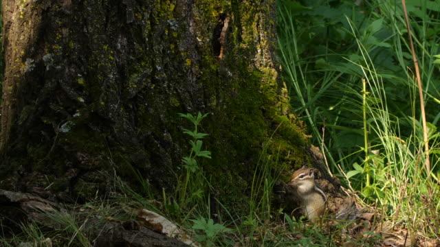 シベリアのシマリス(エウタミアス・シビリカス) - ロシア・キンガン自然保護区 - シマリス点の映像素材/bロール