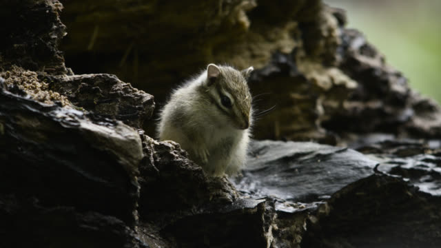 siberian chipmunk looks around , hokkaido, japan. - streifenhörnchen stock-videos und b-roll-filmmaterial