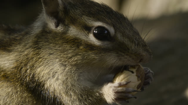 siberian chipmunk shells acorn, hokkaido, japan. - chipmunk stock videos & royalty-free footage