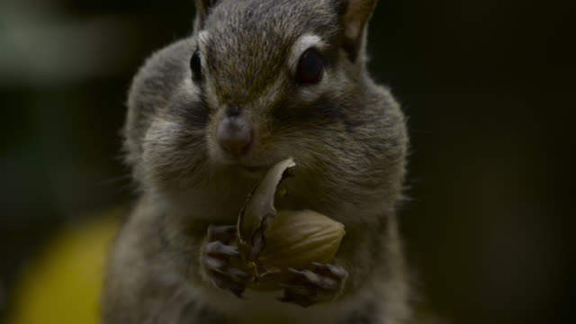 siberian chipmunk stuffs acorn into cheek pouches, hokkaido, japan. - streifenhörnchen stock-videos und b-roll-filmmaterial