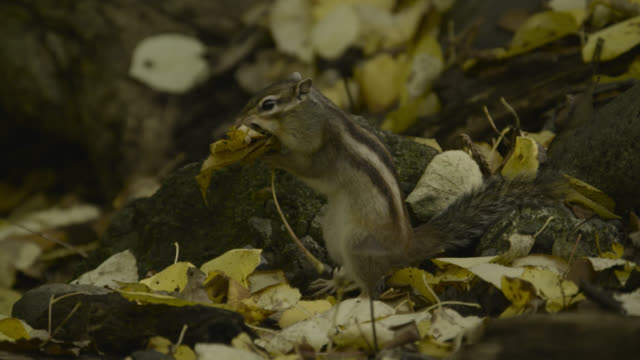 siberian chipmunk stuffs leaf into mouth, hokkaido, japan. - streifenhörnchen stock-videos und b-roll-filmmaterial