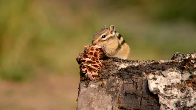 siberian chipmunk (tamias sibiricus) - tamia striato video stock e b–roll