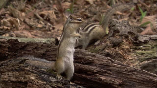 siberian chipmunks in forest, russia - futter suchen stock-videos und b-roll-filmmaterial