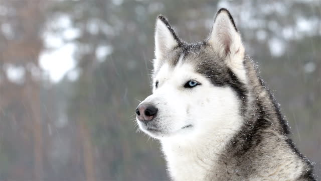 Siberian huskies during a snowfall. Close-up.