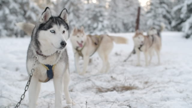 Siberian huskies waiting on chain