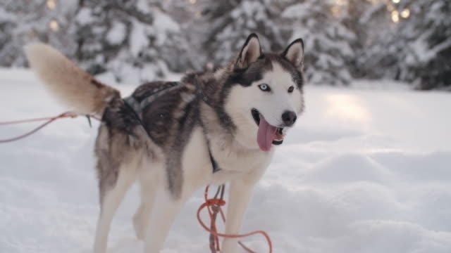 Siberian husky attached to a sleigh