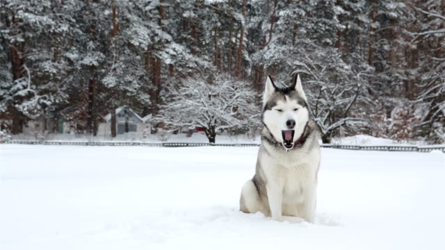 siberian husky barks and sneezes. - animal body part stock videos & royalty-free footage