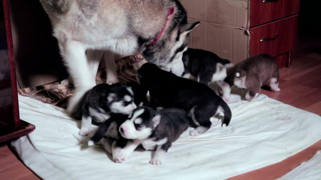 vidéos et rushes de husky sibérien s'occupant des chiots. - lécher