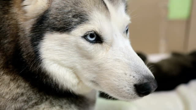 siberian husky close-up. the dog lies with his puppies. - siberian husky stock videos & royalty-free footage