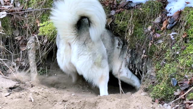 siberian husky digs a den for himself in the forest. - tail stock videos & royalty-free footage