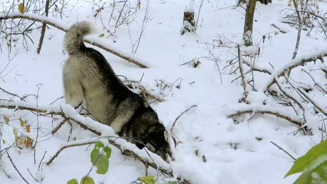 siberian husky digs up a mouse. - siberian mouse stock videos & royalty-free footage