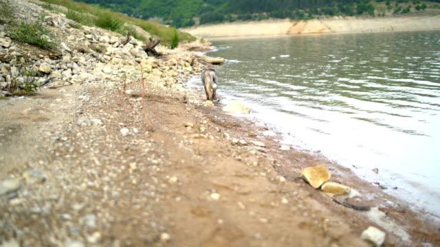 siberian husky dog grey-coloured with blue eyes near lake - grey eyes stock videos & royalty-free footage