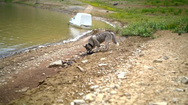 Siberian Husky dog grey-coloured with blue eyes near lake