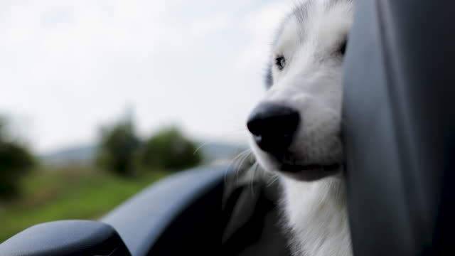 siberian husky dog travel in convertible - dog convertible stock videos & royalty-free footage