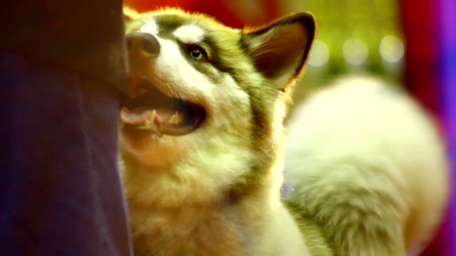 siberian husky dog - malamute stock videos and b-roll footage