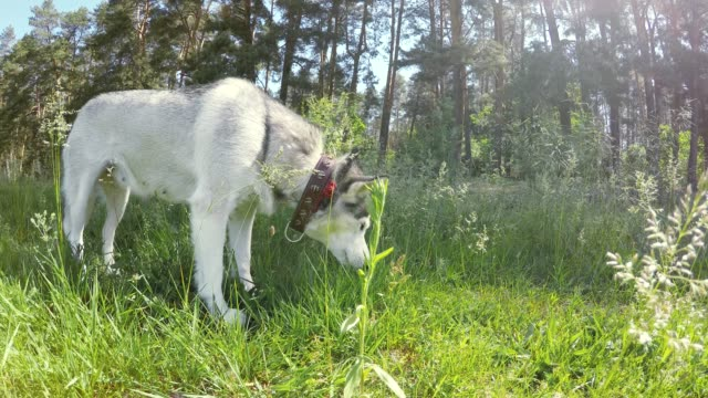 siberian husky eats grass. - siberian husky stock videos & royalty-free footage