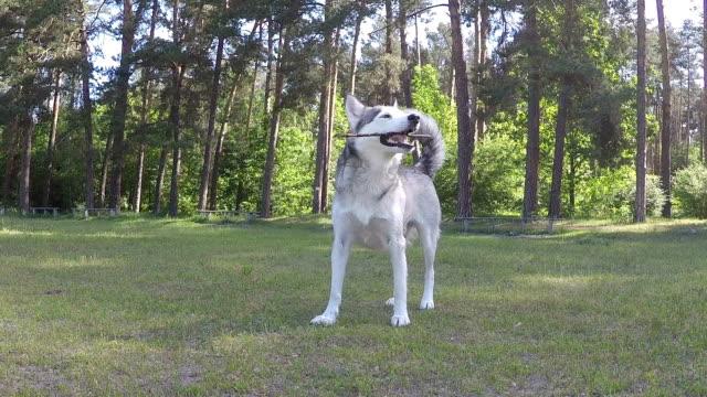 vídeos y material grabado en eventos de stock de husky siberiano roe un palo. - palo parte de planta