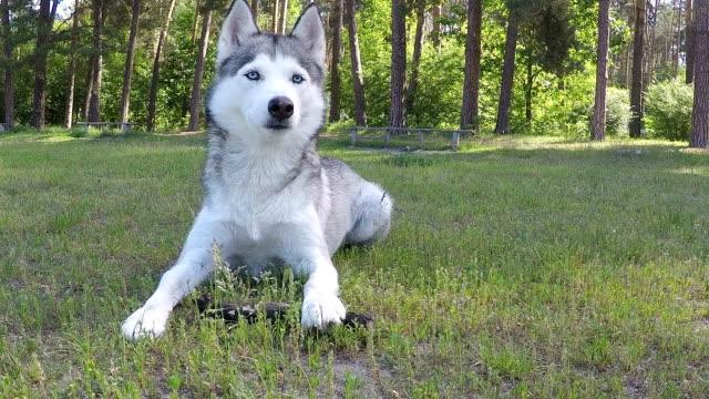 siberian husky gnaws a stick. - siberian husky stock videos & royalty-free footage