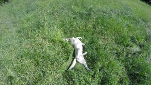 siberian husky hunts for a mouse in high grass. - siberian mouse stock videos & royalty-free footage