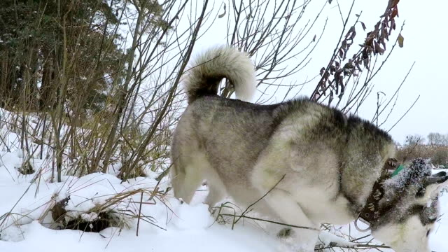 siberian husky in the winter forest. - trained dog stock videos & royalty-free footage