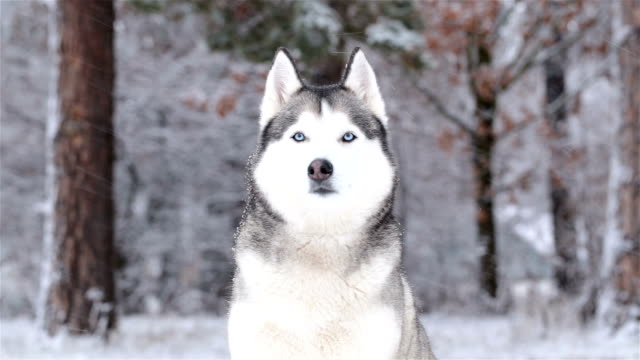 siberian husky in the winter. - sled dog stock videos & royalty-free footage