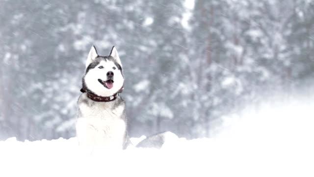 siberian husky in the winter. - siberian husky stock videos & royalty-free footage