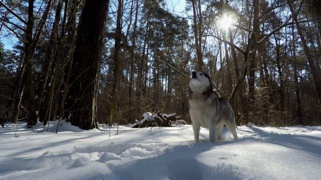 siberian husky in winter. - siberian husky stock videos & royalty-free footage