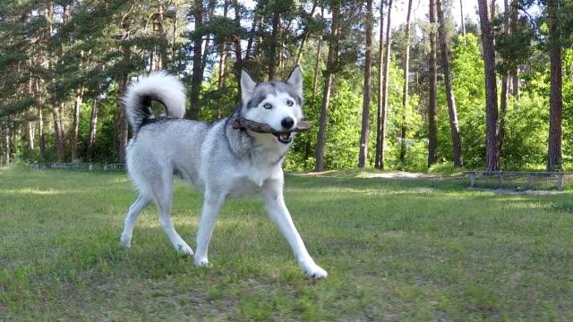 vídeos y material grabado en eventos de stock de husky siberiano jugando con un palo. cámara lenta. - palo parte de planta