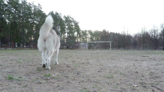 siberian husky is walking through the stadium. - siberian husky stock videos & royalty-free footage