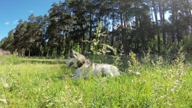 siberian husky lies in a tall grass. - siberian husky stock videos & royalty-free footage