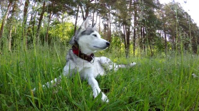 Siberian Husky liegt in dem hohen Rasen.