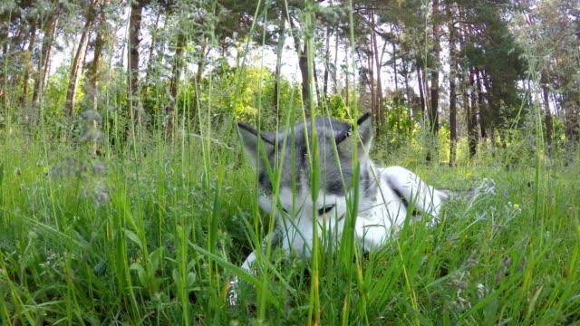 Siberian Husky ligger i det höga gräset.